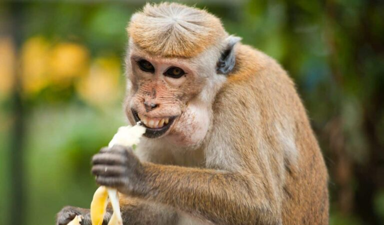 Find Out the Cute Reasons Why Monkeys Love Bananas!